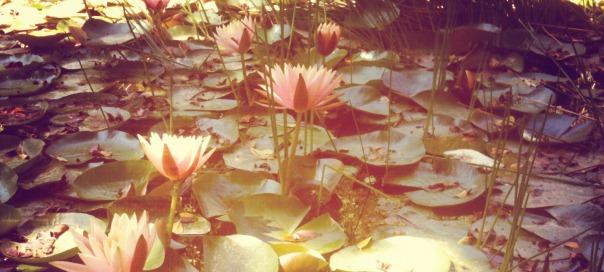 חבצלות מים. צילום: נועה סטרלינג