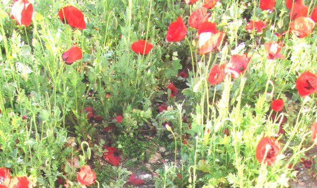 פרגים שוררים מבשרים על האביב. צילום: נ.סטרלינג