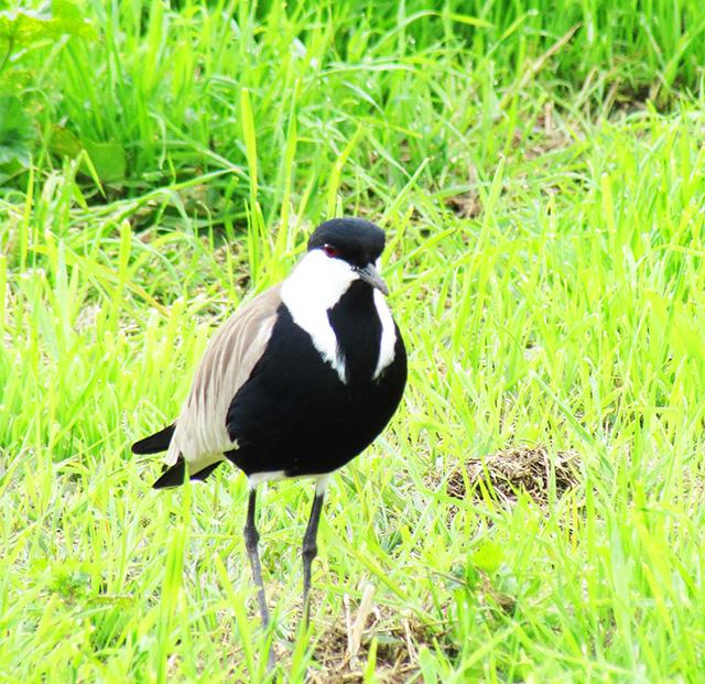 birdsinhula6
