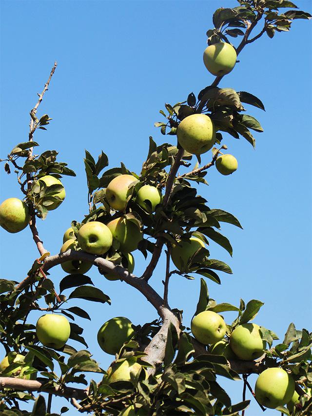 applepickingeinzivan14